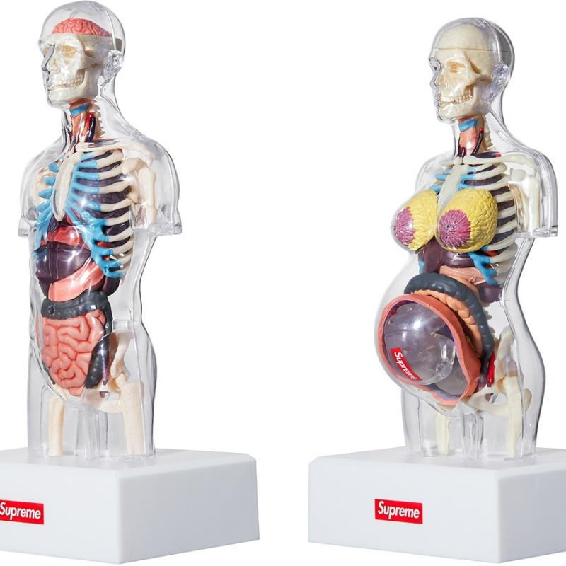 Female Anatomy Model Accessories Strictlypreme